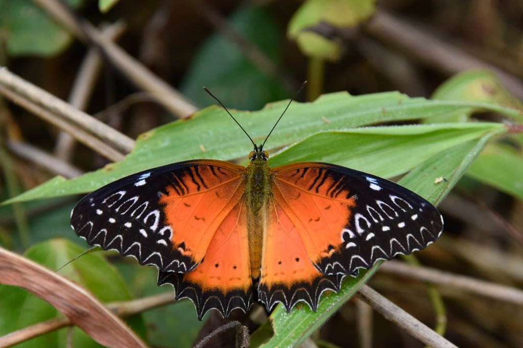 11 15-1676 Red lacewing LNT.jpg