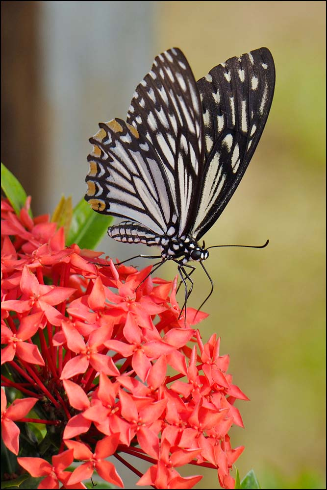 17-1473 Fjäril på blomma CBU.jpg