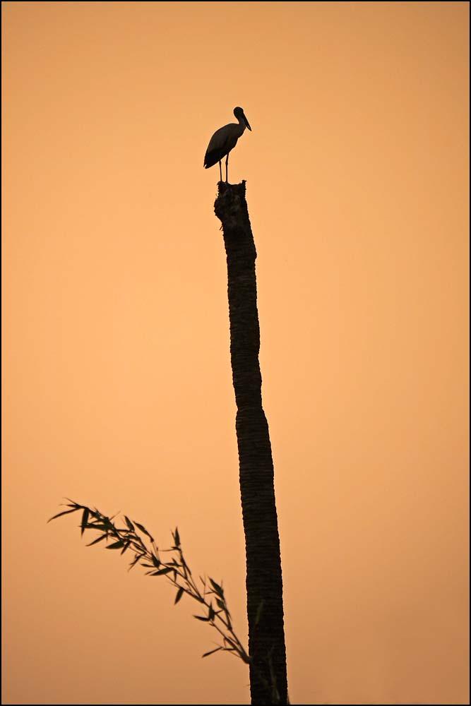 17-1491 Stork på högstubbe CBU.jpg