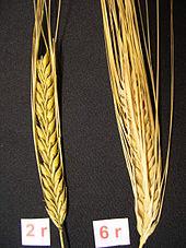 170px-BarleyEars.JPG