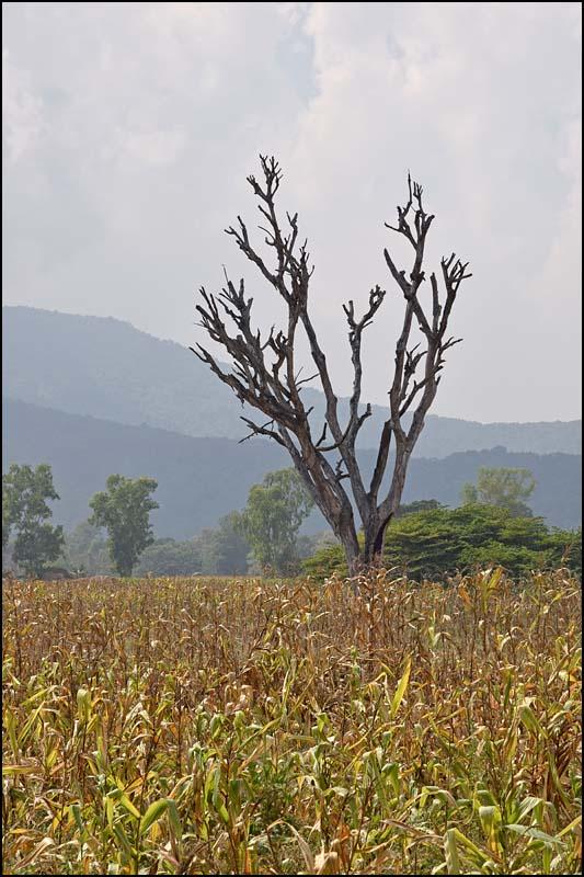 18-0309 Gammalt träd i majsfält PYO.jpg