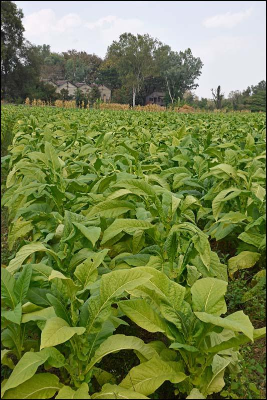18-0323 Tobaksfält och torkrior PYO.jpg