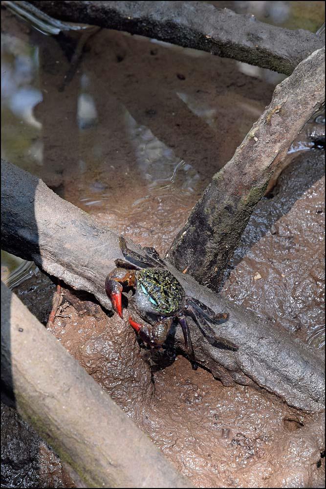 18-0430 Krabba i mangroveträsk PKK.jpg