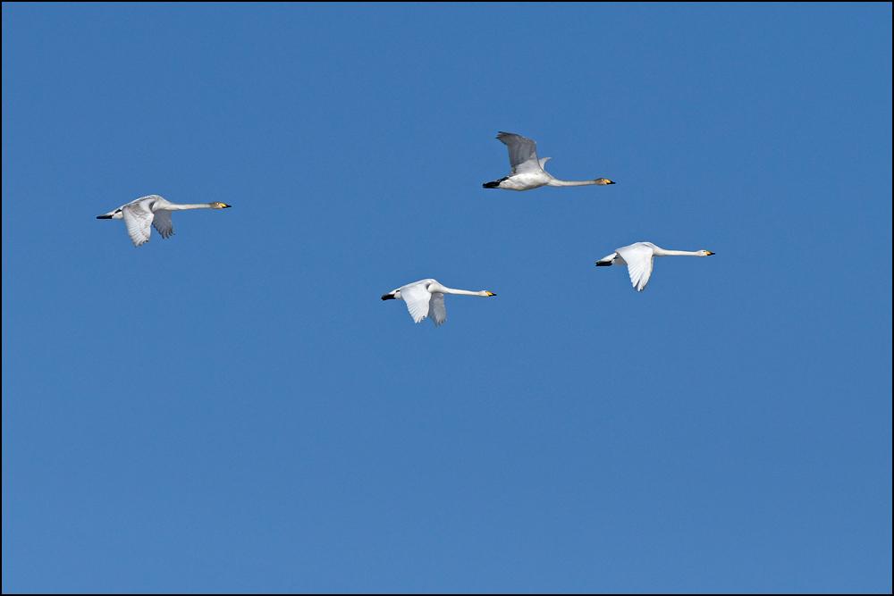 18-0574 Flygande sångsvanar.jpg