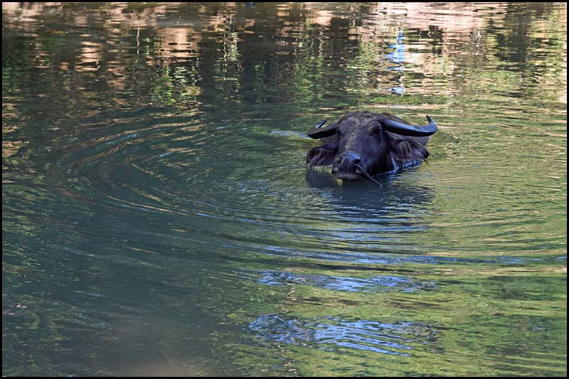 19-0036 Badande buffalo CEB.jpg