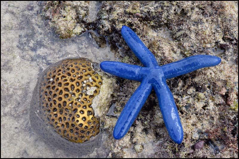 19-0053 Blå sjöstjärna och korall CEB.jpg