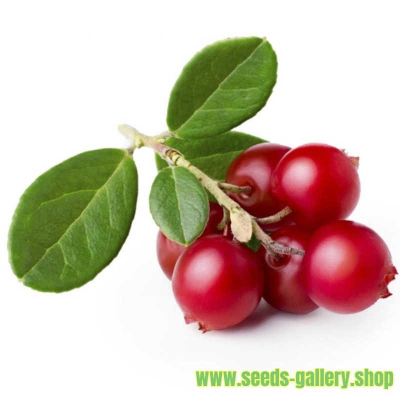 lingonberry-or-cowberry-seed.jpg